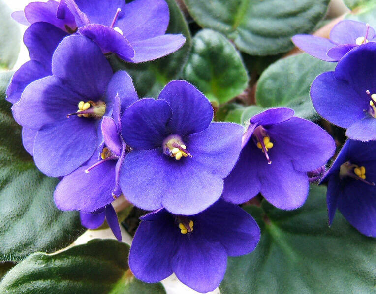 african violet care instructions