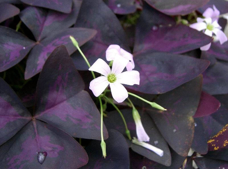 Purple Shamrock By Kenpei