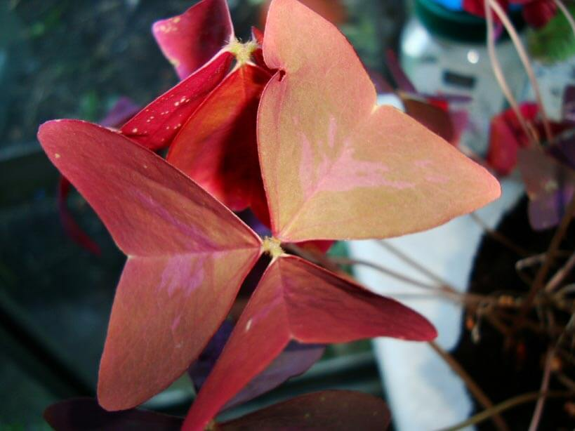 Oxalis (Purple Shamrock / Plant) Guide | Our House Plants on house plant rubber plant, poisonous plants with purple leaves, purple foliage plants with leaves, house plants with bronze leaves, house plants with waxy red blooms, house plants and their names, perennial plants with purple leaves, house plants with shiny leaves, house plants with dark red leaves, house plants with small leaves, wandering jew with fuzzy leaves, purple house plant fuzzy leaves, olive tree green leaves, house plant purple heart, house with red flowers, house plants with colorful leaves, house plants with light green leaves, florida plants with red leaves, tomato plants with purple leaves, house plants with long green leaves,