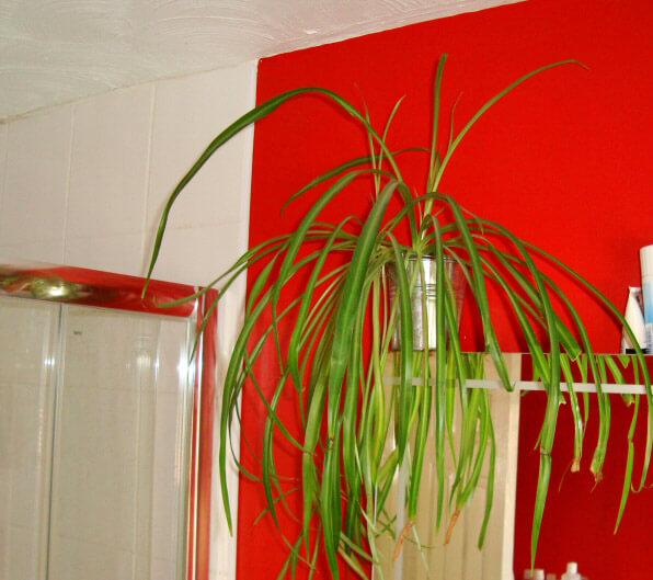 Spiderplant Care: Spider Plant (Chlorophytum Comosum) Guide