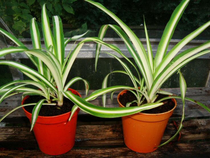 Two Young Chlorophytum Comosum Vittatum Babies