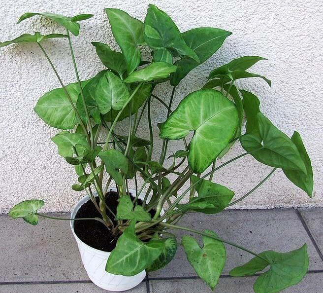 Syngonium podophyllum nephthytis arrow head plant for House plant maintenance