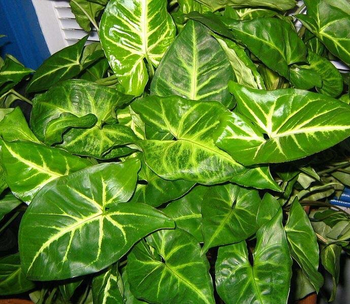 Syngonium podophyllum (Nephthytis / Arrow Head Plant ... on