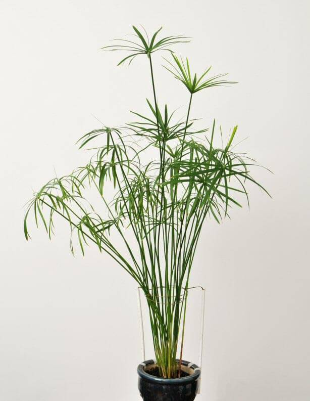 umbrella grass cyperus alternifolius papyrus our house plants. Black Bedroom Furniture Sets. Home Design Ideas