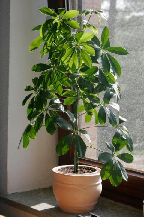 all green variety of the umbrella plant grown as a houseplant