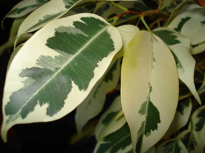 Ficus Benjamina Weeping Fig Guide Our House Plants