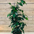 Ficus plants make great houseplants and look brilliant in lots of settings