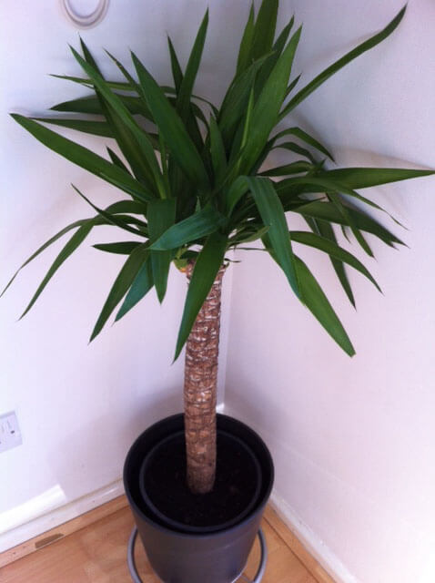 a young yucca elephantipes standing tall in a corner