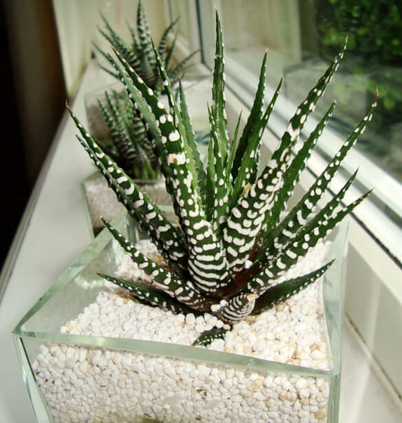 Three Zebra Cactus (H. Attenuata And H. Fasciata) Plants On A Window