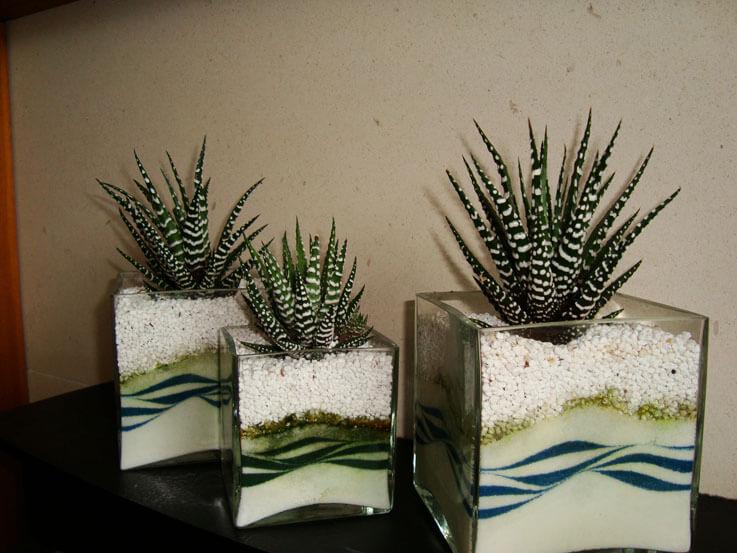Haworthia Zebra Cactus Pearl Plant Star Window Plant