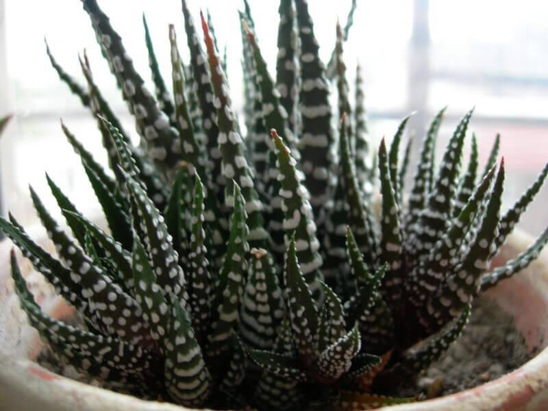 Haworthia Zebra Cactus Pearl Plant Star Window Plant Our