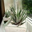 Three Zebra Cactus (H. attenuata and H. fasciata) plants on a window ledge