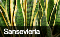 Sansevieria / Mother-in-Law's Tongue