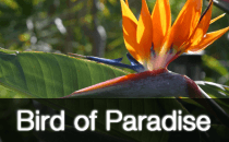 Strelitzia / Bird of Paradise