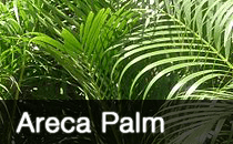 Areca Palm / Butterfly Palm