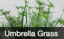 Umbrella Grass / Cyperus