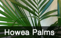Howea Palms / Kentia and Sentry Palm