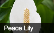 Peace Lily / Spathiphyllum