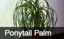 Beaucarnea Recurvata / Ponytail Palm