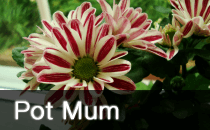 Pot Mum / Chrysanthemum