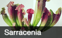 Sarracenia / Trumpet Pitcher