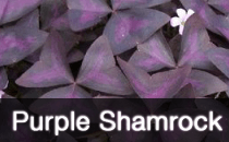 Oxalis / Purple Shamrock