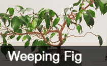 Weeping Fig / Ficus Benjamina